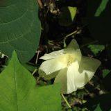 綿の花が咲き始めました