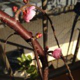 梅が開花しました