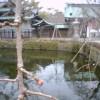 *** 三島大社の桜の開花情報 ***